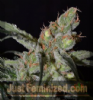 CBD Shark Female 10 Marijuana Seeds